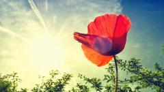 Poppy Flower 24005