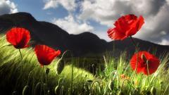 Poppy Flowers 24012