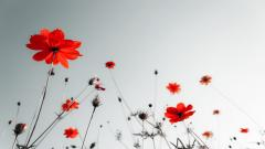 Poppy Wallpaper 24008