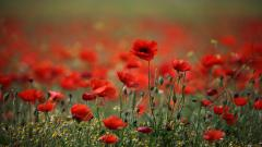 Poppy Wallpaper HD 24016
