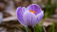 Purple Crocus 28943
