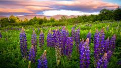 Purple Flowers 14040
