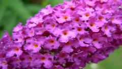 Purple Flowers 14044