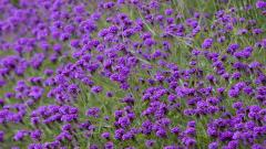 Purple Flowers 14046