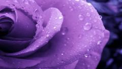 Purple Roses Picture 29511