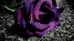 Purple Roses Wallpaper 29508