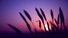 Purple Sunset 23193
