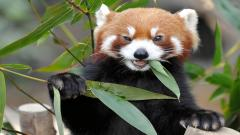 Red Panda 27515