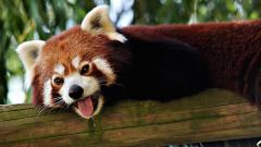 Red Panda Wallpaper 27516