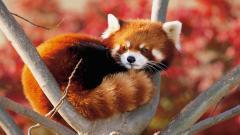 Red Panda Wallpaper 27517