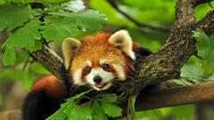 Red Panda Wallpaper 27518