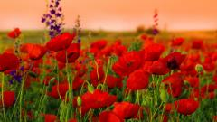 Red Poppies 24017