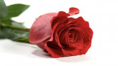 Rose Flowers 7068