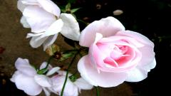 Rose Flowers 7069