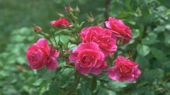Rose Flowers 7072