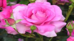 Rose Flowers 7076