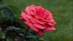 Rose Flowers 7077
