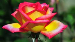 Rose Flowers 7083