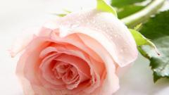 Rose Flowers 7086