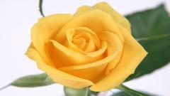 Rose Flowers 7091