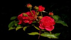 Rose Pictures 26829