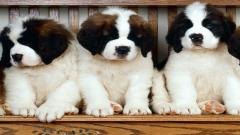 Saint Bernards 19587