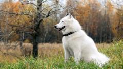 Siberian Husky 20780