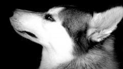 Siberian Husky 20786