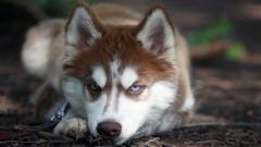 Siberian Husky 20790