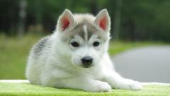 Siberian Husky Puppy 20783
