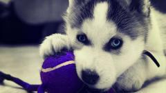 Siberian Husky Puppy 20785