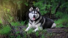 Siberian Husky Wallpaper 20787