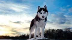 Siberian Husky Wallpaper 20791