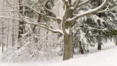 Snowy Trees 32385
