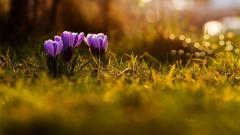Spring Crocuses 28948