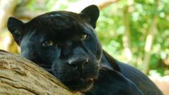 Stunning Black Panther 20069