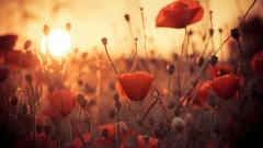 Stunning Poppy Wallpaper 24010