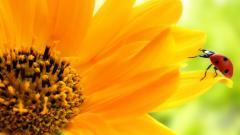 Sunflower Wallpaper 16052