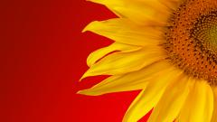Sunflower Wallpaper 16054