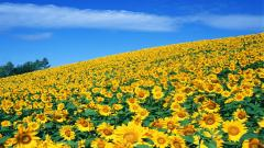 Sunflower Wallpaper 16055