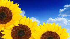 Sunflower Wallpaper 16057