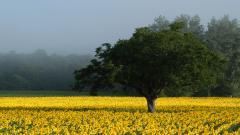 Sunflower Wallpaper 16060