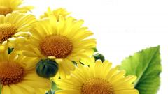 Sunflower Wallpaper 16062