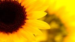 Sunflower Wallpaper 16071