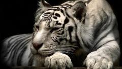 Tiger Photos 4876