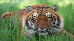 Tiger Photos 4879