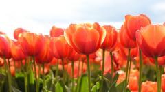 Tulips 12581