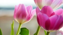 Tulips 12582