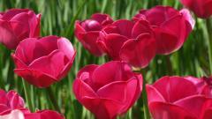 Tulips 12583