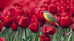 Tulips 12585